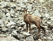 Chamois - click to zoom