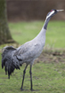 European Crane- click to zoom