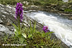 Early Purple Orchid - click to zoom