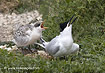 Sandwich Terns gaping for food - click to zoom