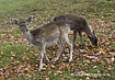 Fallow Deer Fawns - click to zoom