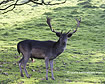 Alpha Male Fallow Deer - click to zoom