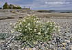 Sea Kale - click to zoom
