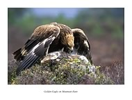 Golden Eagle on Hare - click to zoom
