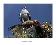 Goshawk on Pheasant - click to zoom
