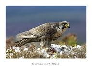 Peregrine Falcon - click to zoom
