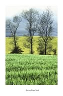 Spring Rape Seed - click to zoom