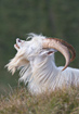 Kashmir Goat - click to zoom