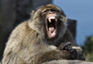 Macaques - click to zoom