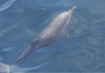 Common Dolphin- click to zoom