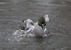 Falcated Duck - click to zoom