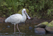 African Spoonbill - click to zoom