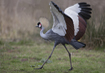 Gray Crowned Crane - click to zoom