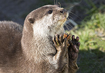 Asian Otter - click to zoom