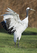 Red Crown Crane - click to zoom