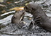 Giant Otters - click to zoom